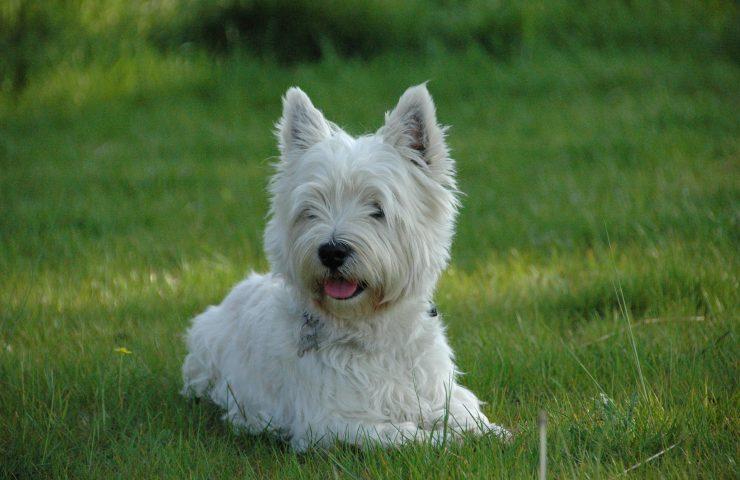 West Highland White Terrier pet insurance