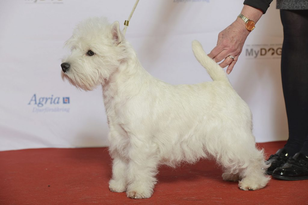 West Highland White Terrier Exhibiting