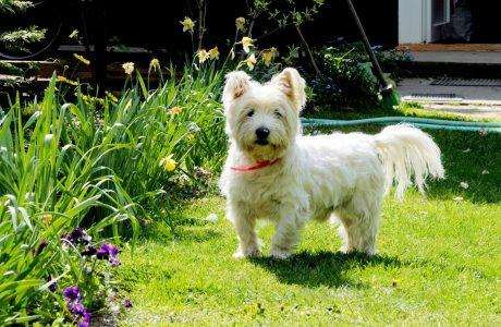 West Highland White Terrier Health