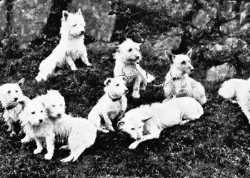 West Highland White Terrier History