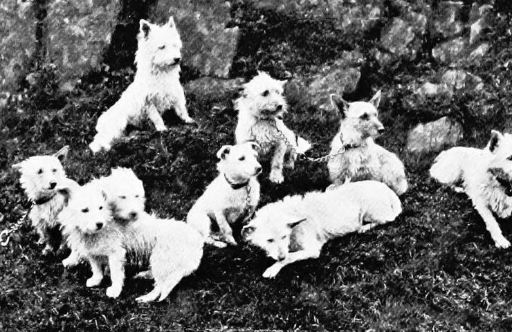 Poltalloch West Highland White Terrier