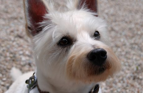 About Westie Life