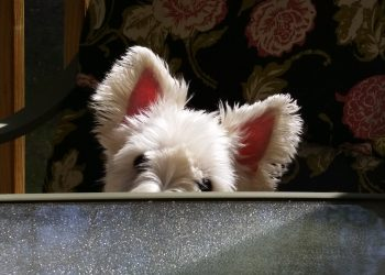 Buying a Westie Puppy