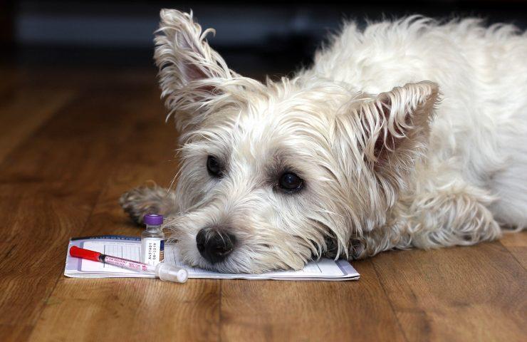 Diabetes in West Highland Terriers
